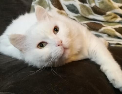 צבע הפרווה משפיע על הטמפרמנט של החתול